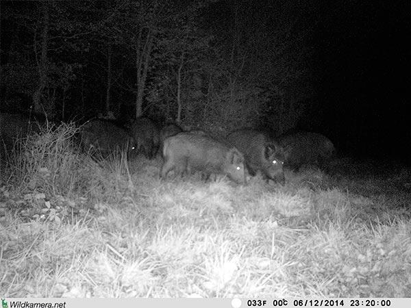Rudel Wildschweine mit Wildkamera Wild-Vision-Full HD5.0