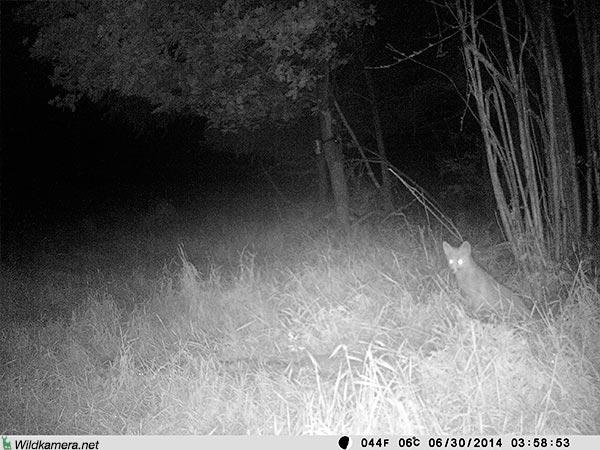 Aufnahme eines Fuchs mit Wildkamera Wild-Vision-Full HD5.0