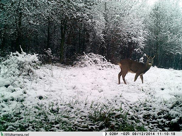 Aufnahme eines Rehs im Winter mit Wildkamera Wild-Vision-Full HD5.0