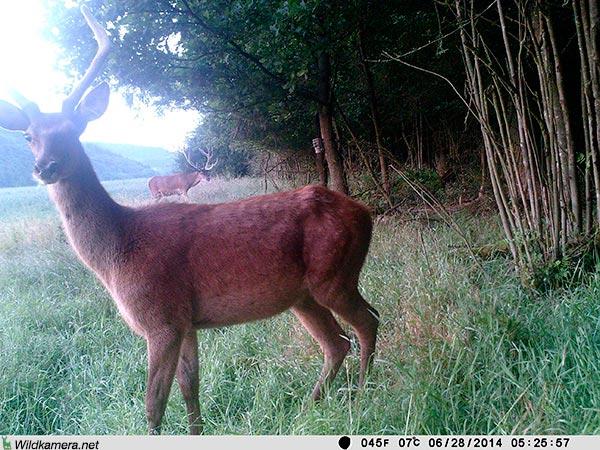 Aufnahme eines Hirsch mit Wildkamera Wild-Vision-Full HD5.0