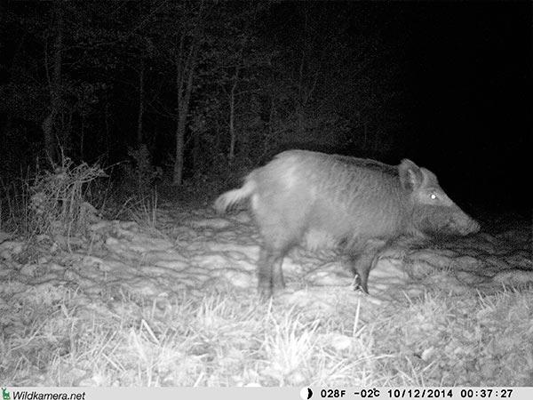 Grossaufnahme eines Wildschweins mit Wildkamera Wild-Vision-Full HD5.0